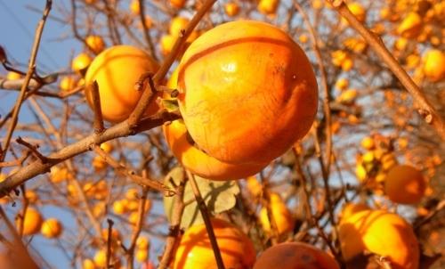 Cachi: è il frutto di una pianta longeva originaria dell Asia orientale.
