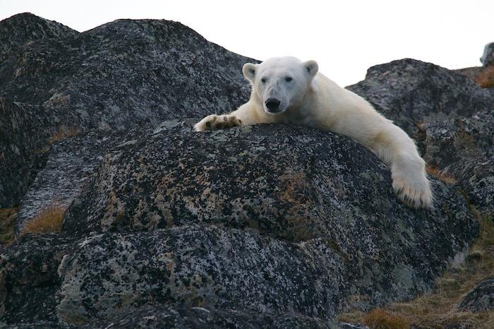 make earth great again birra orso polare artico