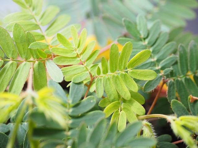mimosa-1271941_640 (1)