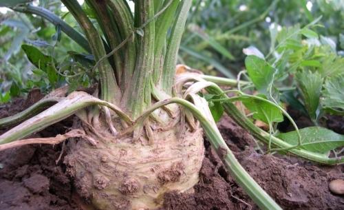 Sedano rapa: è un ortaggio diffuso soprattutto nel Nord Italia e dalle notevoli proprietà nutrizionali.