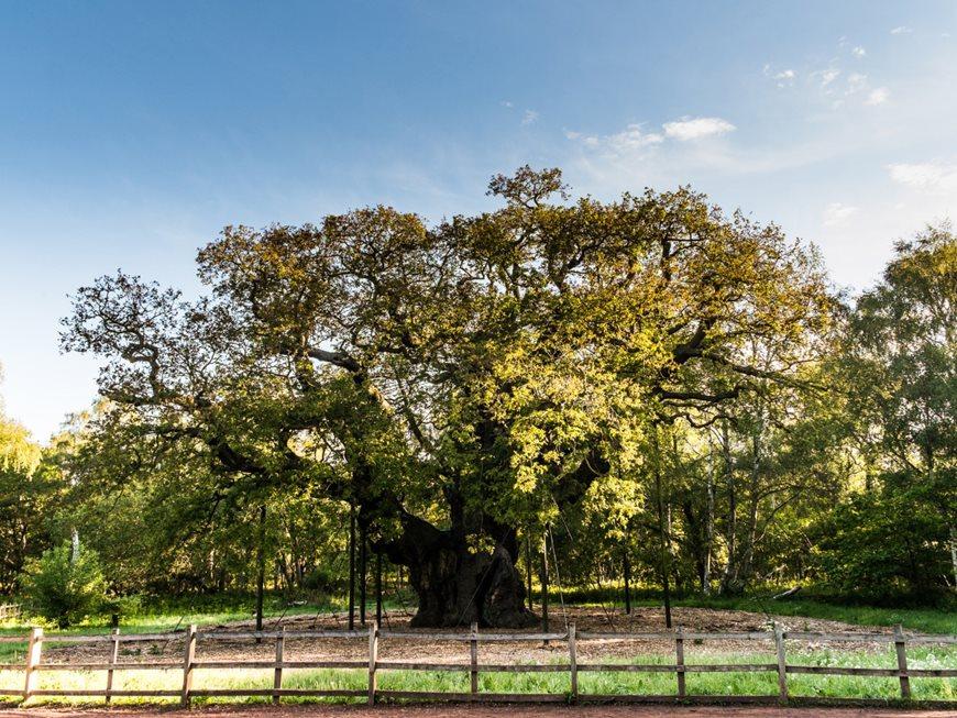 Major Oak, Nottingham, (treeoftheyear.org) foresta di Sherwood