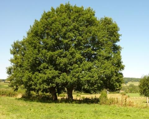 albero campagna