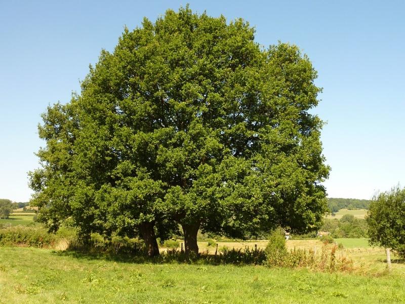 Quando i monumenti sono alberi nato l 39 elenco nazionale degli alberi monumentali d 39 italia - Foto di alberi da giardino ...