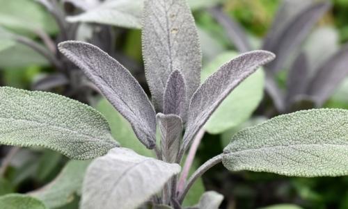 Salvia: le sue proprietà terapeutiche sono note fin dallantichità.