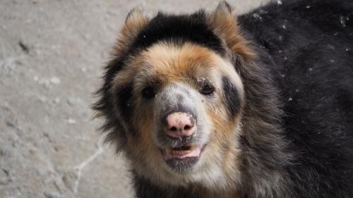 Tremarcots ornatus, orso andino o orso con gli occhiali. In Paddington, l'orso protagonista del film appartiene a questa specie