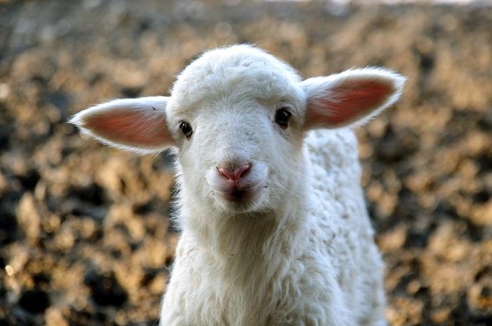 San Valentino Pet Friendly, adotta una pecora