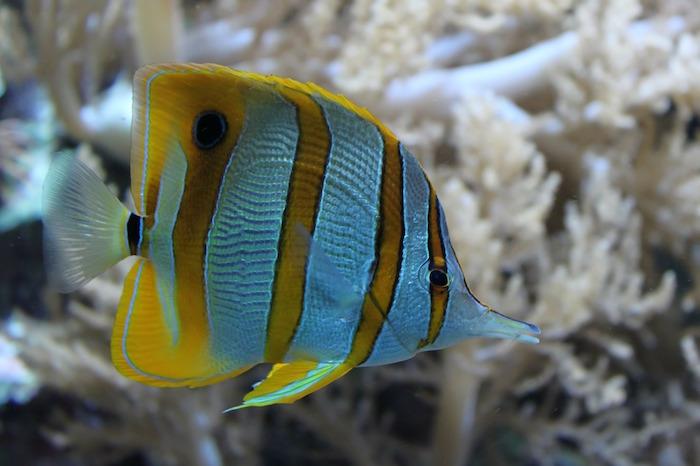 barriere coralline pesce