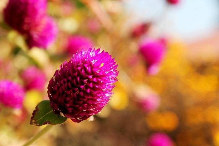 fiore gonfrena