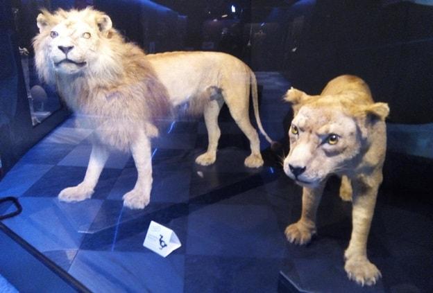 leone berbero-min