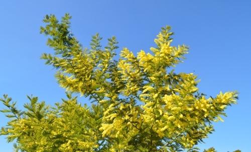 Route du mimosa: questo percorso è impreziosito dalla fioriture delle mimose, fiori gialli dallinconfondibile profumo