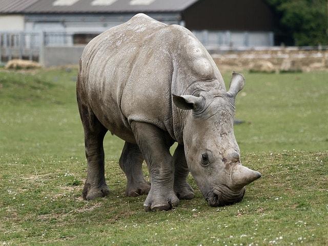 white-rhino-2296437_640-min
