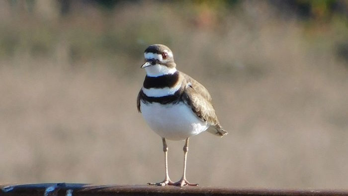 ciclovia dei trabocchi uccello fratino Riserva Naturale Punta