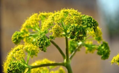 Finocchio: è una pianta diffusa nellarea mediterranea e rinomata soprattutto per le sue proprietà digestive.