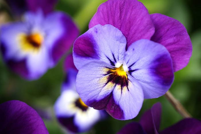 Particolare dei petali di violetta