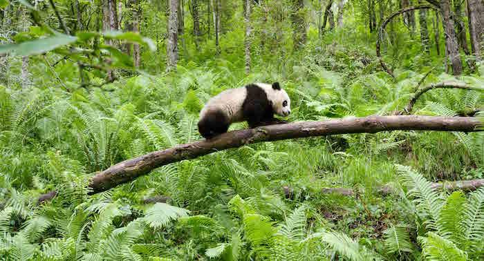 Earth - Un giorno straordinario panda
