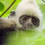 Earth - Un giorno straordinario_scimmia