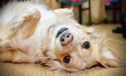 Cani terapisti: in base ai risultati di questo primo studio, non sono particolarmente stressanti come operatori della pet therapy.