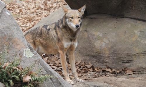 Animali in via di estinzione: il lupo rosso figura tra le specie a rischio.