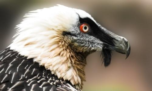 Animali in via di estinzione: il gipeto è una specie a rischio.