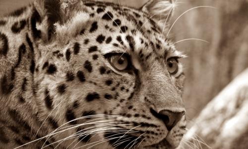Animali in via di estinzione: il leopardo dellAmur è una delle specie più minacciata e che rischia di scomparire entro il 2018.