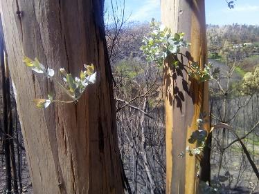Incendi boschivi, eucalipti intervista camargo 10