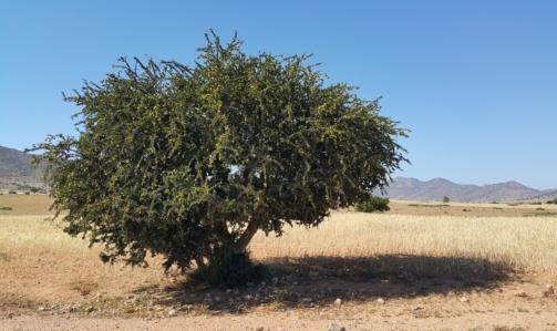 Olio di argan: è estratto dai semi di una pianta endemica nel Marocco.