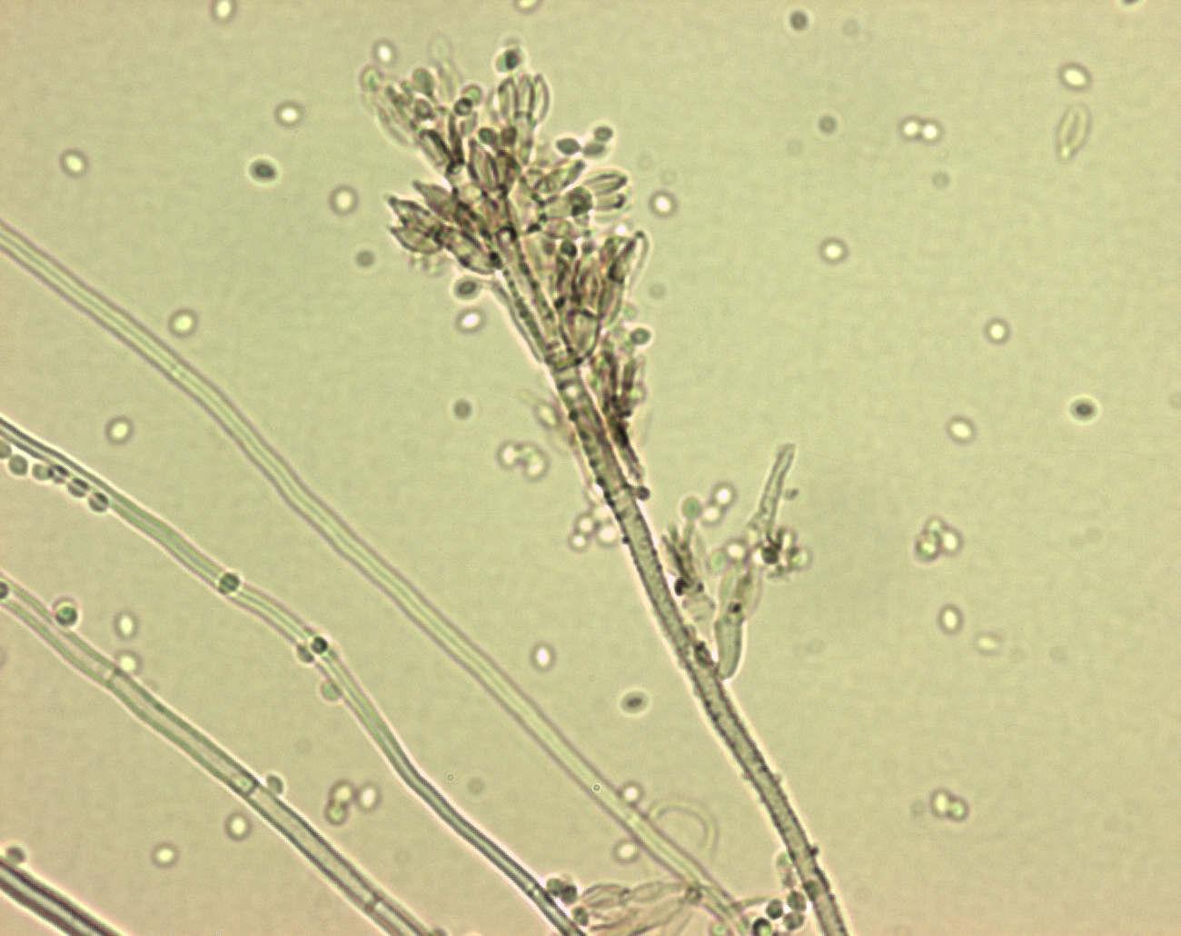 purpureocillium liacinum