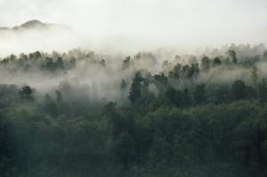 Alberi, foresta, nebbia