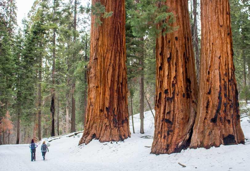 alberi california foto vacchiano-min