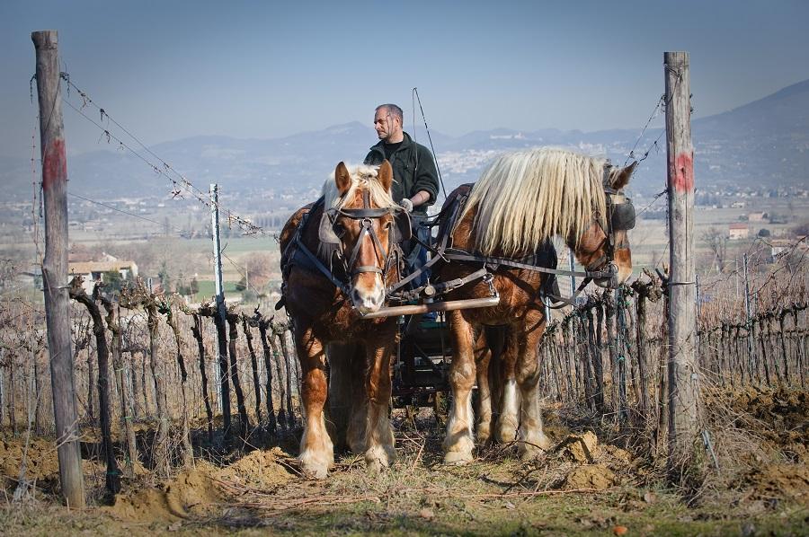 cavalli in vigna