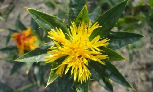 Olio di cartamo: si ottiene dalla spremitura dei semi dellomonima pianta.