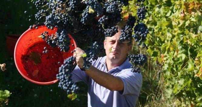 Azienda vinicola Di Filippo. Vita in vigna