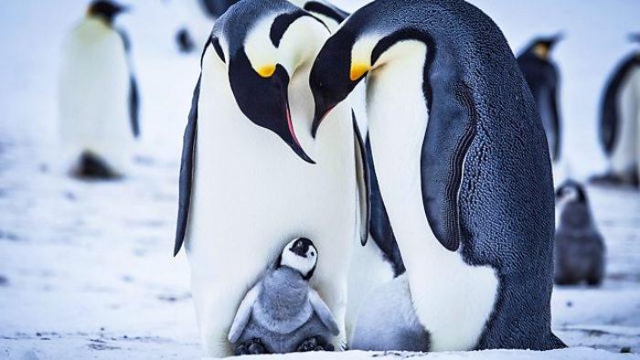 BBC pinguini