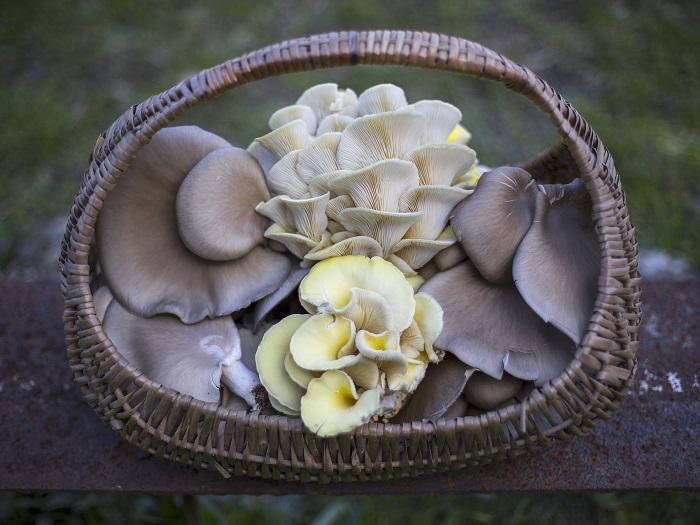 funghi-pleurotus-proprietà nutraceutiche-funghiespresso