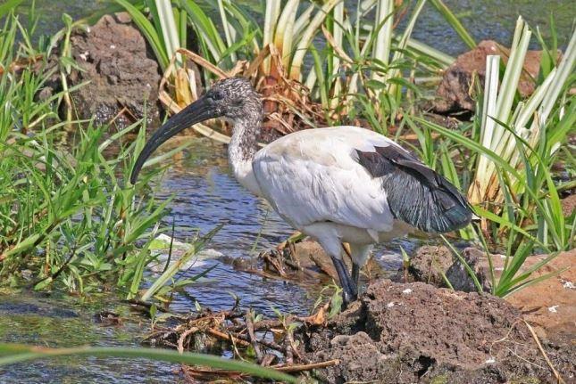 ibis sacro-min