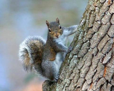 scoiattolo grigio-min