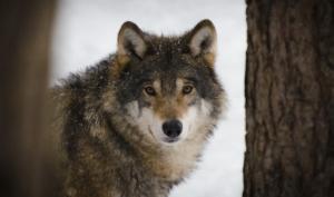 Diritto alla vita: il lupo