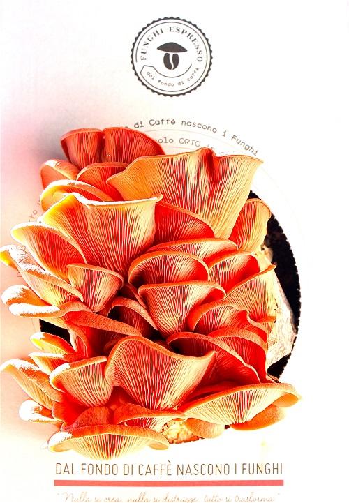 Kit di coltivazione Funghi Espresso: Pleurotus Djamor