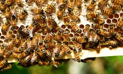 Pappa reale: una gelatina resinosa prodotta dalle ghiandole salivari della api.