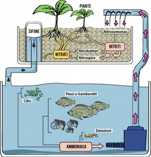 Schema di funzionamento di un impianto acquaponico.