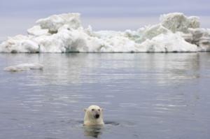 Orso Polare. Beaufort Sea, Arctic Ocean, Alaska. Steven Kaszlowski