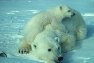 Giornata Mondiale dell'Orso Polare. WWF Italia celebra il mammifero marino