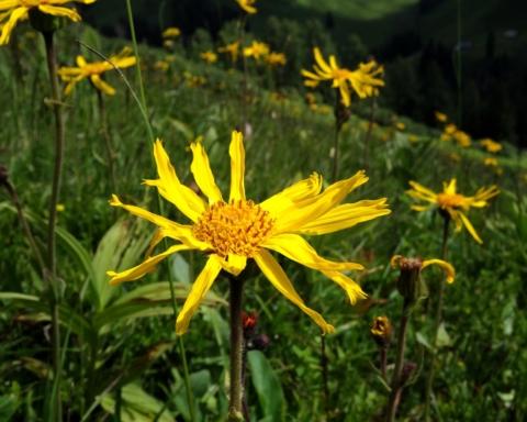 Arnica montana: la pianta di guarigione