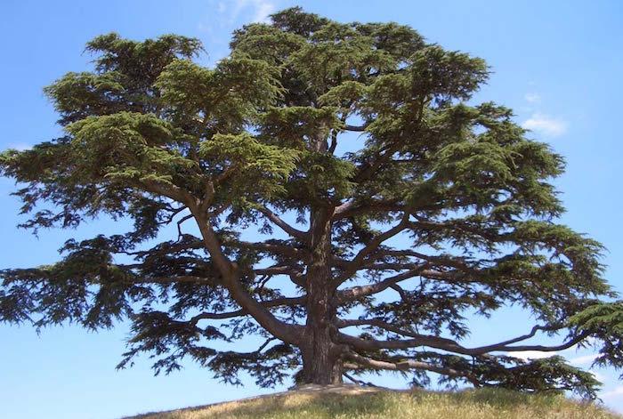 cedro del libano da vicino