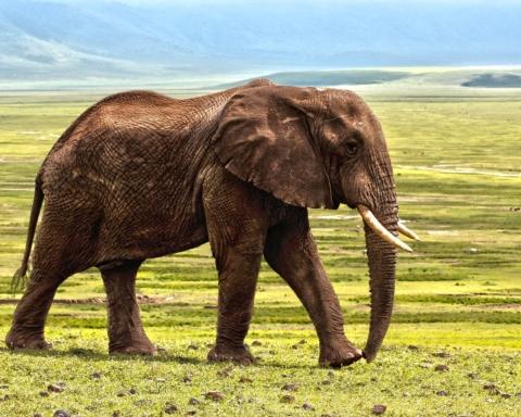 Fauna selvatica: elefante non avorio