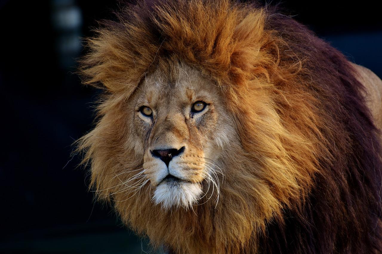 Fauna selvatica: il leone