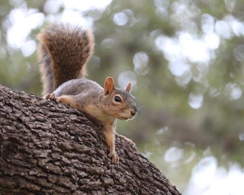 Specie aliene invasive: scoiattolo grigio