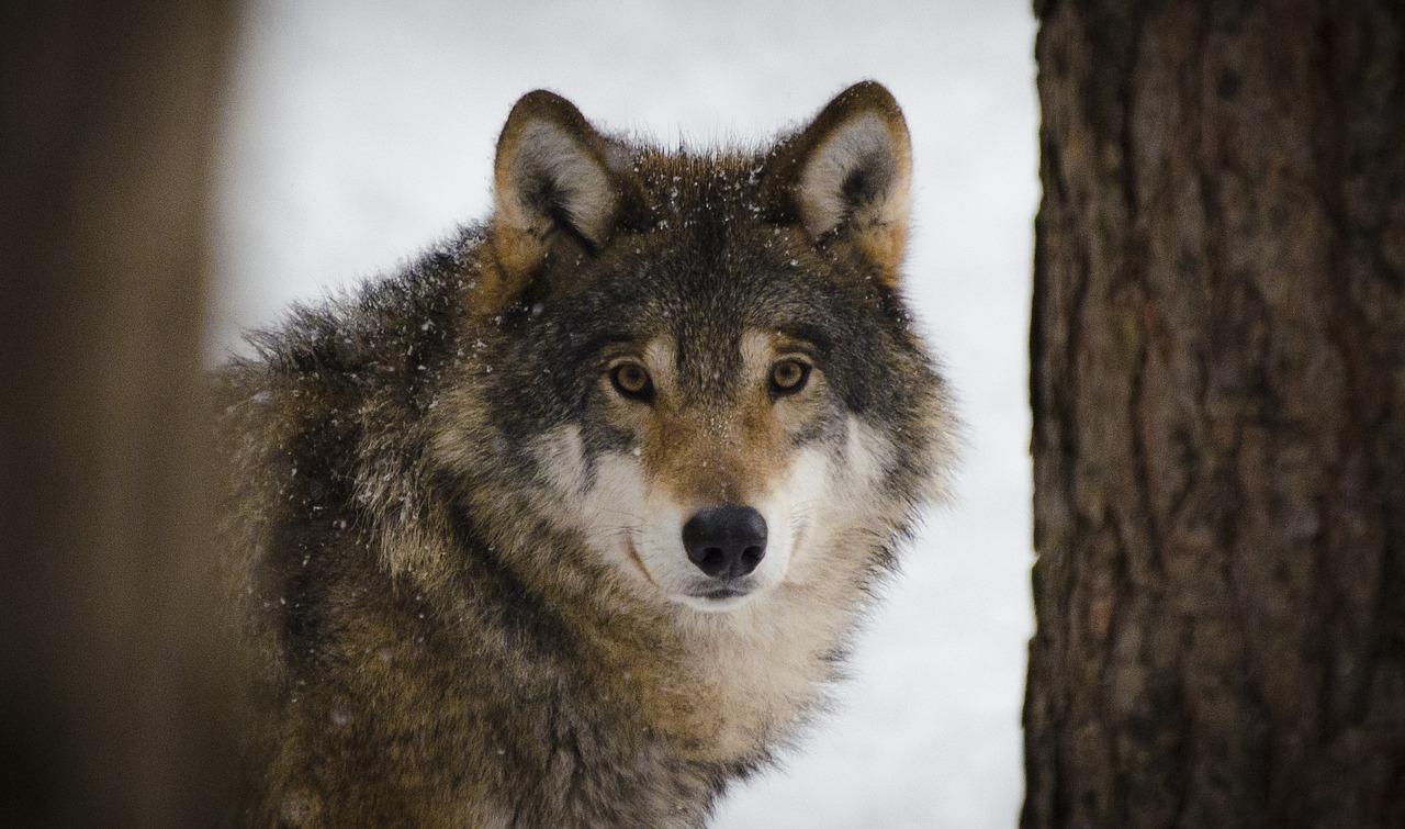 Fauna selvatica: il lupo