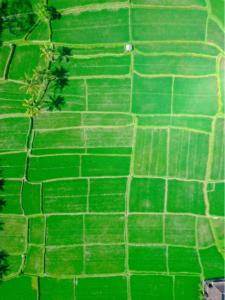 campo verde in cina di cereali