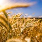 Coltivazione di grano duro giallo sotto al sole